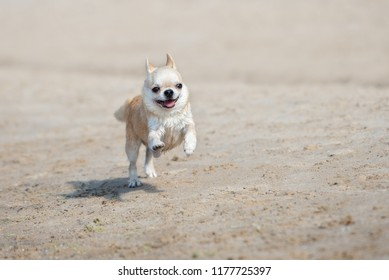 funny chihuahua dog running on the beach