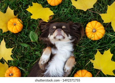 funny chihuahua dog sleeping on the grass surrounded by fallen leaves and small pumpkins