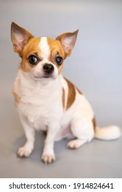 FUNNY CHIHUAHUA ON A GRAY BACKGROUND