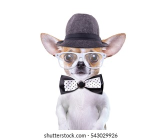 Funny chihuahua in stylish hat. Little dog in stylish sunglasses