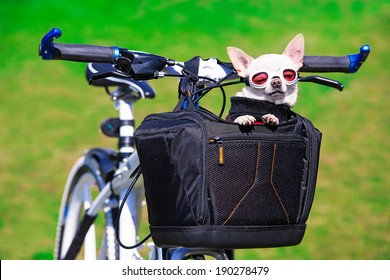 funny chihuahua in sunglasses in bicycle bag