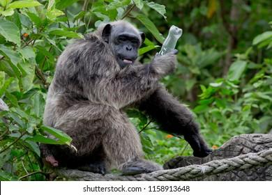 Funny Chimpanzee hold plastic bottle in his hand. Chimpanzee afraid human take bottle back.