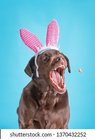 funny chocolate lab with rabbit ears on catching a treat on an isolated blue background in a studio shot