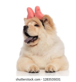 funny chow chow wearing pink ribbon headband looks to side while lying on white background with blue tongue exposed