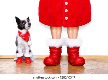 funny christmas  santa claus poodle   dog isolated on white background with  red  boots for the holidays waiting and sitting to go for a walk