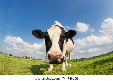 funny close up cow on green grass pasture outdoors
