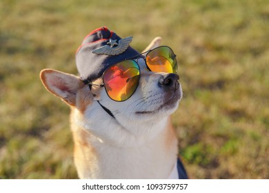 Funny close up photo of the Shiba Inu dog in a pilot suit on the grass background