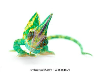funny close view of a beautiful  green colorful  chamaeleo calyptratus looking you. Species also called veiled, cone-head or yemen chameleon.