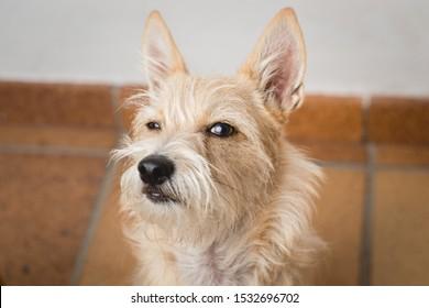 Funny closeup dog face. Dog with a suspicious face. Hairy dog. Mongrel dog.