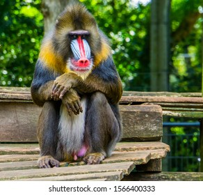 funny closeup of a mandrill, vulnerable baboon specie from Africa
