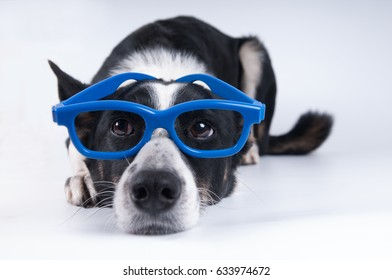 Funny closeup portrait of black and white mixed breed dog lying with sad face in funny blue glasses