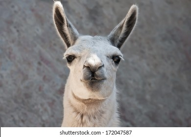 Funny close-up portrait of llama in zoo