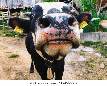 Funny close-up of a white marked cow in Kastamonu, Turkey