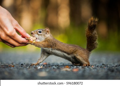 Funny Close-up of Woman Feeding a Red Squirrel on the ground somewhere in Quebec, Canada.