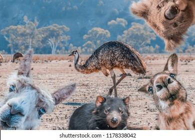 Funny collage of animals living in Australia - Emu, Koala, Kangaroo, Tasmanian Devil, and Alpaca