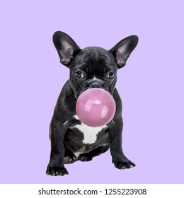 Funny collage. Pug dog chewing bubble gum on purple background.