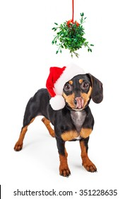 Funny conceptual image of a wiener dog begging for a kiss under a Christmas mistletoe