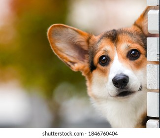 funny corgi dog peeping outdoors
