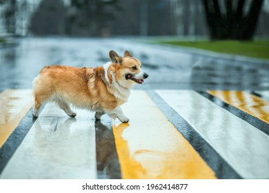 funny corgi dog puppy crossing the road at a pedestrian crossing on a rainy day and smiling