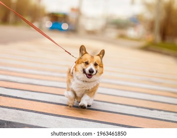 funny corgi dog puppy on a strapped leash safely crosses the road on a pedestrian on a city street