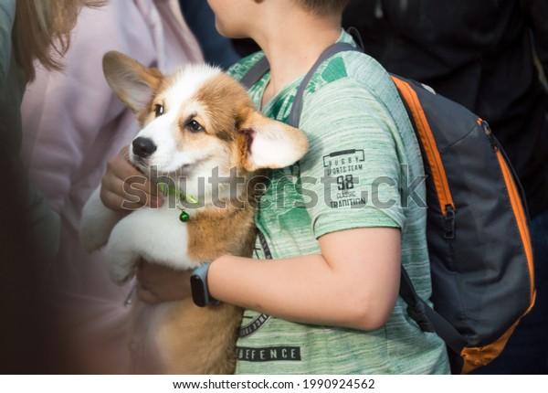 funny-corgi-puppy-big-ears-600w-19909245
