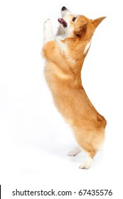 Funny corgie dog standing up on his rear legs on the white background in studio