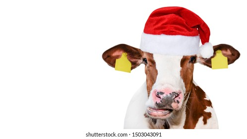Funny cow isolated in Christmas hat. Spotted Cow portrait isolated on white. Farm animals.