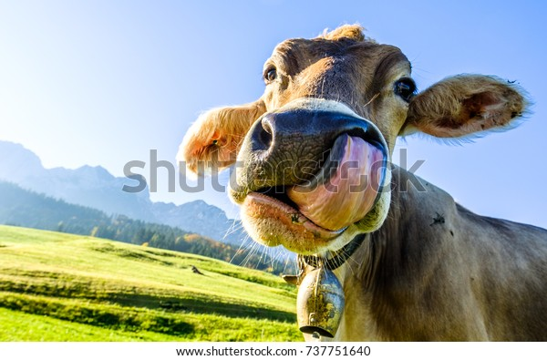 funny cow at the kaisergebirge mountain