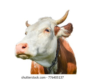Funny cow looking aside isolated on white background. Spotted red and white cow with a big snout close up. Cow muzzle close up.