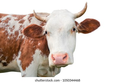 Funny cow looking at the camera isolated on white background. Spotted red and white cow with a big snout close up. Cow portrait close up.  Farm animal.