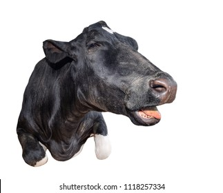 Funny cow lying isolated on a white background. Black and white cow close up. Talking cow portrait. Farm animal.