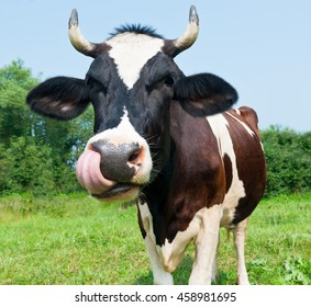 Funny cow in the meadow