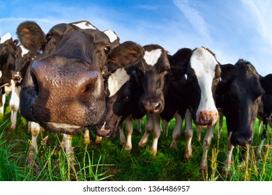 funny cow nose close up outdoos in summer
