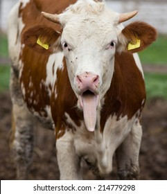 Funny cow portrait with tongue stuck out