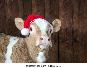 Funny cow with santa claus hat