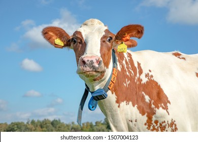 Funny cow with torn ear and cross eyes has a band around his neck under a blue sky with clouds.