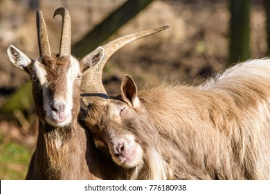 funny cozy sweet lovely tender goats, one leaning on the other, color outdoor wildlife animal portrait of couple, symbolic figurative joint together pair rely on love tenderness trust support