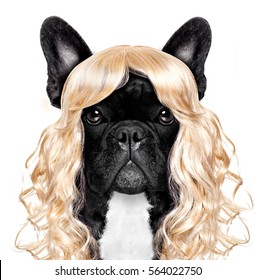 funny crazy silly french bulldog dog wearing a blonde curly wig for mardi gras carnival or just for fun party, isolated on white background