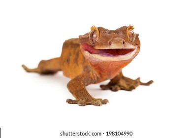 A funny crested gecko looking forward with his tongue out and off to the side