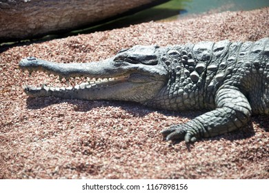 Funny Crocodile Laughing