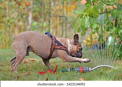 Funny and curious brown wet French Bulldog dog playing with water sprinkler system in garden on hot summer day