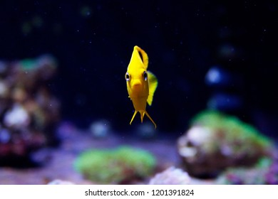 Funny Curious fish - Rock Beauty Angel - Saltwater Fish