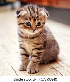 Funny curious Scottish fold kitten