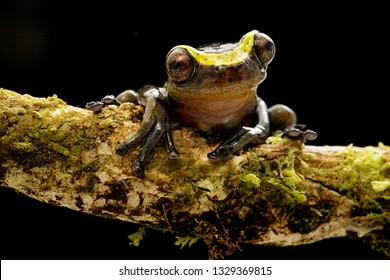 funny curious tree frog dendropsophus manonegra a small treefrog from the Amazon rain forest in Colombia A nocturnal jungle animal.