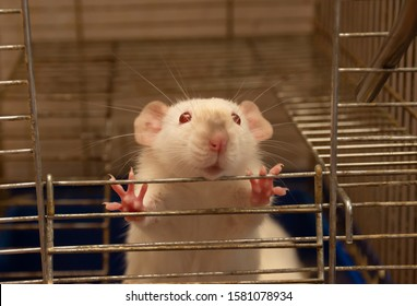 Funny curious white laboratory rat looking out of a cage (selective focus on the rat eyes and paws), symbol of the 2020 New Year of the White Metal Rat