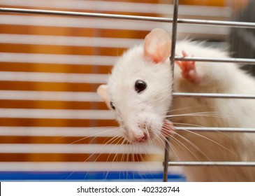 Funny curious white rat looking out of a cage (shallow DOF, selective focus on the rat nose)