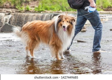 Funny cute adorable ginger white rough collie dog is walking in river flow near waterfall on a leash with his owner - pet adventures