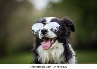 Funny Cute Adorable Young Black And White Border Collie Female Portrait With Sunglasses