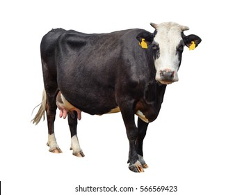 Funny cute cow isolated on white. Black and white cow looking at the camera . Funny curious cow  standing full-length in front of white background. Farm animals Pet cow on white.