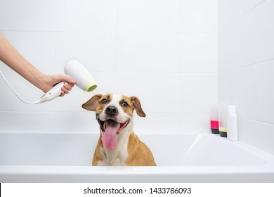 Funny cute dog in a bathtub getting dried with a hair-dryer. Taking care of pets at home concept: trained obedient staffordshire terrier sits in a white bathtub